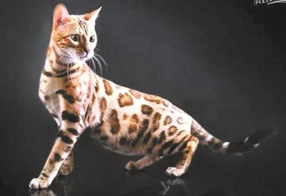 -->   《重庆晨报》消息 最近,在深圳塘朗山拍摄到野生动物豹猫身影的消息,吸引了不少街坊的关注,而这也是国内首次在大城市中心地带,发现稀有野生动物。   据动物专家介绍,豹猫属于食肉目猫科豹猫属,特征是头上有纵向条纹,身上有黑色斑点,在华南地区均有分布。不过专家建议,野生动物的生活栖息,要尽量减少人类的干预。   深圳野生动物园猫科专家王雪告诫市民:如果市民在野外,或者在生活周边看到豹猫的动物的话,千万不要捕捉它,毕竟是食肉目,和这个动物保持距离。 -->